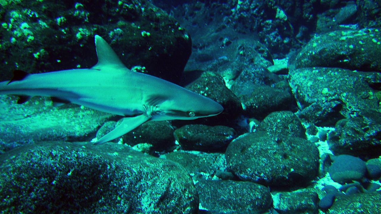 Ding-Fisch australia