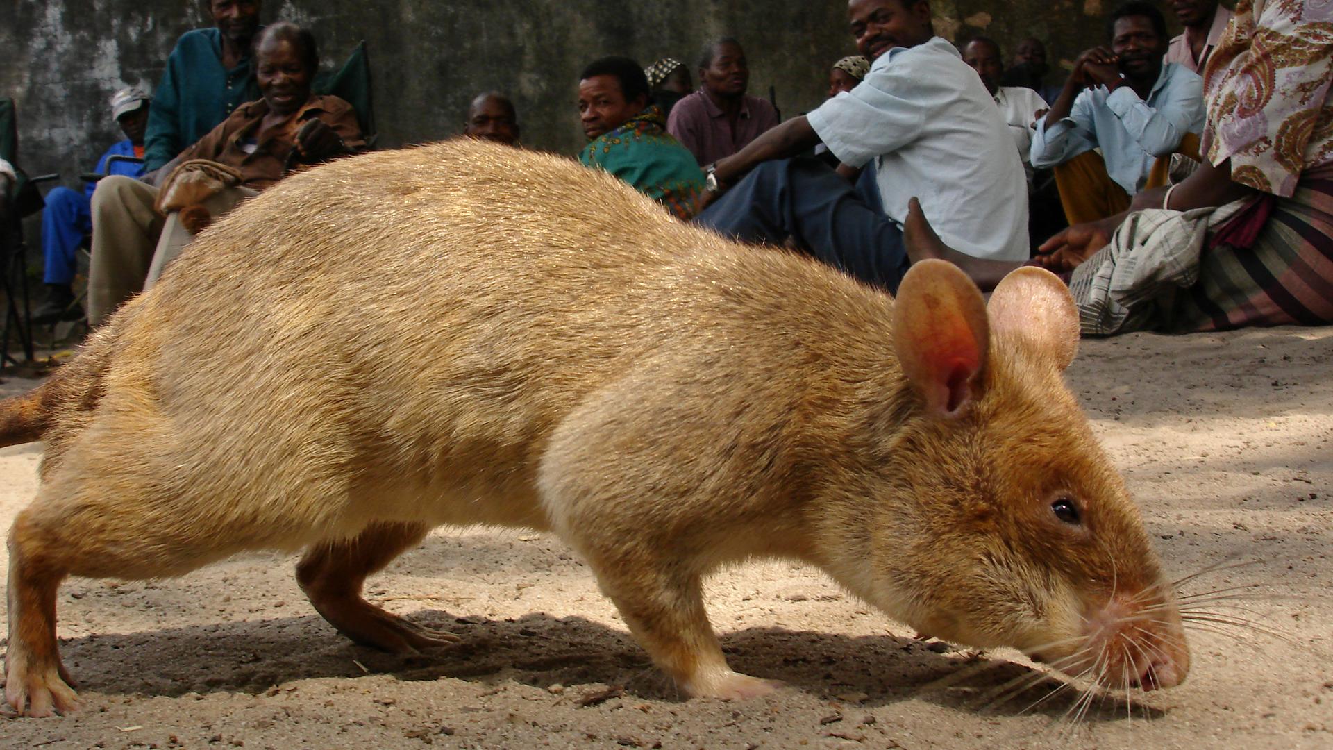 Riesen Ratte